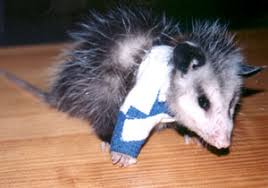 Orphaned Or Injured Opossum Opossum Society Of The United