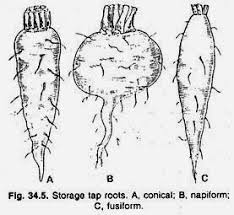 essay on root botany storage tap roots