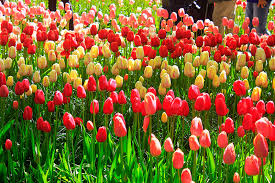 flowers a photo essay u a satish tulips keukenhof garden outdoor flowers travel