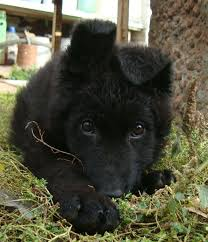 baby black german shepherd. Contemporary Shepherd Black German Shepherd  27 Pictures Puppies Animal Throughout Baby