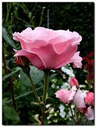 """Résultat de recherche d'images pour """"les roses du jardin"""""""