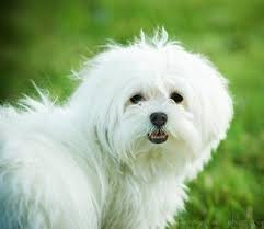 maltese dog. maltese dog e