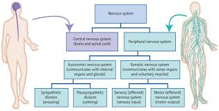 Cns And Pns Chart Neural Control Coordination Study Material For Neet