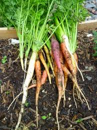 carrot plant stages. Modren Stages Different Growth Stages Of Carrots  Joe Macho Intended Carrot Plant T