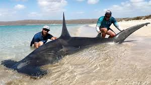 great hammerhead shark caught. Brilliant Hammerhead Man Catches Massive Hammerhead Shark From Beach Inside Great Caught YouTube