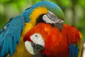 macaws parrots free photo