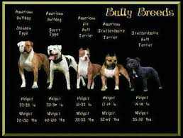 Pitbull Dog Years Chart English Bulldog Bully Breeds Chart Precious Dogs Bully