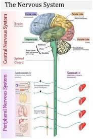 Central Nervous System Vs Peripheral Nervous System Venn Diagram 435 Best Nervous System Images Neuroscience Nursing Nervous System