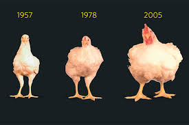 Growth Of A Chicken Chart Breeders Stew Over How To Slow Pace Of Chicken Growth Wsj