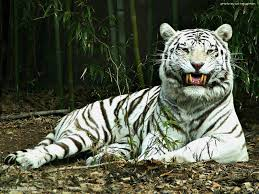 white tiger wallpaper free download. Wonderful Download White Tiger Wallpapers Free  Desktop Wallpaper For Download S