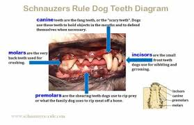 Dog Teeth Diagram Mouth Problems