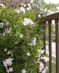 potato vine flower.  Flower And Potato Vine Flower O