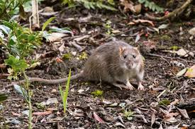 how to stop rats from making your garden their home