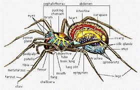 Spider Anatomy Chart Spider Silk