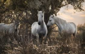 Wallpaper Grass Nature Tree Horses Horse Trio Trinity