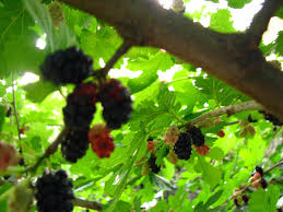 Blackberry Facts 10 Things You May Not Know About The FruitTree With Blackberry Like Fruit
