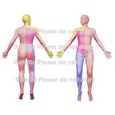 Body Chart Images Collection Download Option