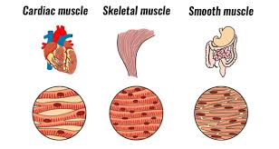 Types Of Muscle Teachpe Com