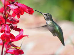 hummingbirds and flowers wallpaper. Hummingbird And Flowers HD Hummingbirds Wallpapers 16001200 Wallpaper For