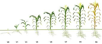 Wheat Growth Stages Chart Staging Corn Growth Pioneer Seeds