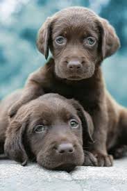 dog i have no idea what i 39 m doing. best 25+ chocolate labrador puppies ideas on pinterest | labradors, dogs and lab dog i have no idea what 39 m doing