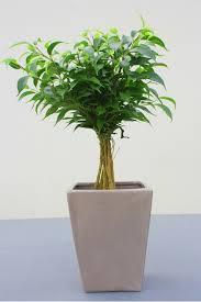 I vasi, anche se grandi, spesso sono limitativi per la loro crescita ed. Piante Da Appartamento Quali Dove Come Magazine Delle Donne