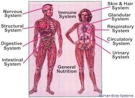 Body Systems Chart Human Body System Anatomy System Human Body Anatomy
