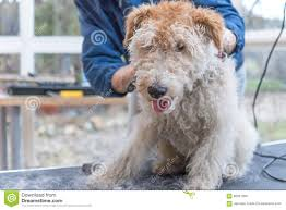 Trimming Of The Fox Terrier Horizontally Stock Photo