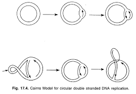 essay on dna replication genetics rolling circle model of dna replication