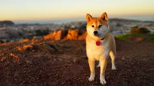 shibe wallpaper. Perfect Wallpaper Shiba Inu Wallpapers And Shibe Wallpaper B