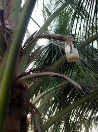 Vino di palma