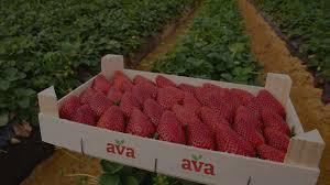 AVA Berries - Taste the berry best