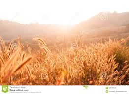grass field sunrise. Unique Field Download Grass Field Against Sunset Or Sunrise Flowers With Rim Of  Stock Photo  Sunrise