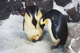 emperor penguin egg. Perfect Penguin During The Summer In Southern Hemisphere U2013 From About December To  February Emperor Penguins Antarctica Are At Sea Fattening Up On Squid Fish  With Penguin Egg P