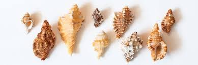 Seashell Chart Seashell Identification And Names Visit Turks And Caicos