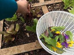 how to grow salad greens in your garden or containers