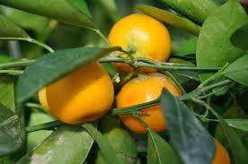 Calamondin Orange  Edible LandscapingSmall Orange Fruit On Tree