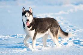 baby siberian husky with blue eyes. Delighful Husky Huskies Have A Thick Double Coat That Keeps Them Well Insulated Their  Undercoat Is Short And Warm While The Overcoat Long Waterresistant And Baby Siberian Husky With Blue Eyes