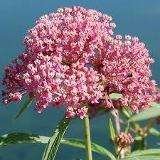Image result for milkweed