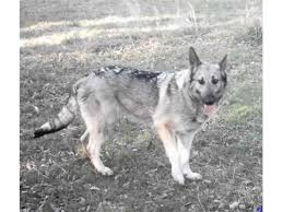 black and silver german shepherd. Exellent And Silver German Shepherd Picture Collection And Ideas  Dogs Breed To Black R