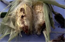 Corn Earworm - Sweet Corn - Ontario CropIPM