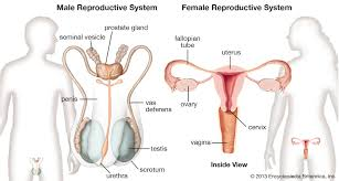 Diagram showing anatomy of human body with names. Human Reproductive System Definition Diagram Facts Britannica
