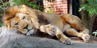 zoo. Exellent Zoo Just Lion Around To Zoo