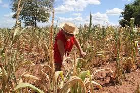 Resultado de imagem para imagem de milho seco, sem chuva