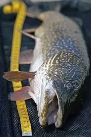 Northern Pike Age Chart Pike Length To Weight Conversion Chart