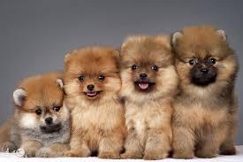 宠物狗中的小精灵博美犬、_新闻_蛋蛋赞