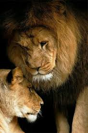 lioness and lion cuddle. Modren And Cuddle To Lioness And Lion