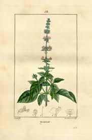 Ocimum basilicum - Useful Tropical Plants