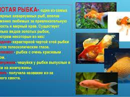 Презентация по окружающему миру на тему Аквариумные рыбки класс  ЗОЛОТАЯ РЫБКА одна из самых популярных аквариумных рыб вполне заслуженно лю