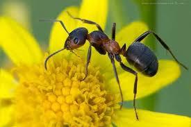Луговой муравей луговой муравей formica pratensis  Луговой муравей formica pratensis фото насекомые фотография